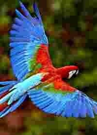 papagal3
